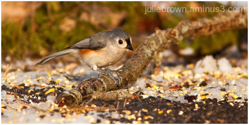 tufted titmouse with seed eagle creek park