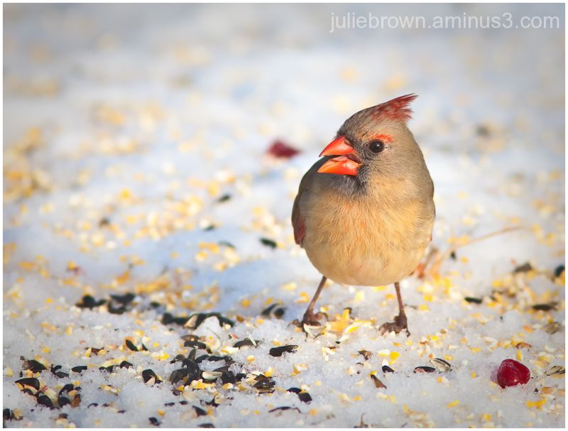 northern cardinal in the snow with seed