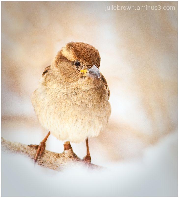 house sparrow female in the snow eagle creek park