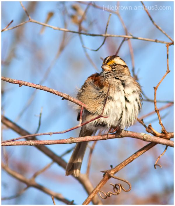 white-throated sparrow molting at eagle creek park