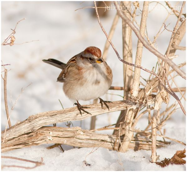 american tree sparrow in winter at eagle creek par