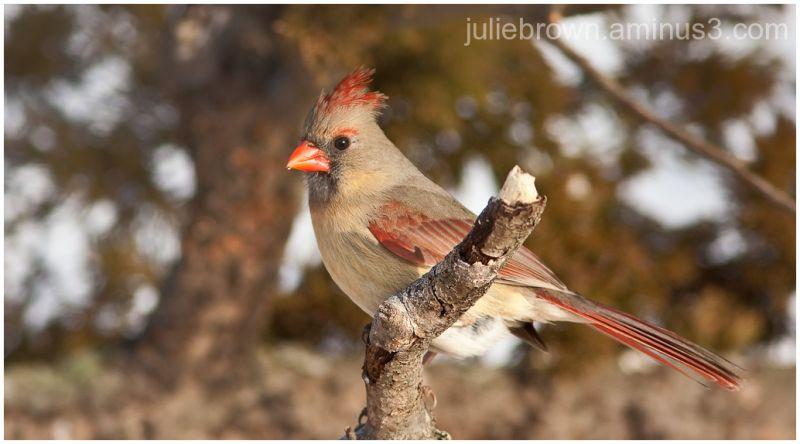 female northern cardinal on broken perch