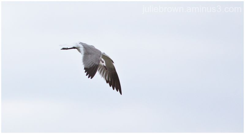 laughing gull flying wings down St Andrews SP FL