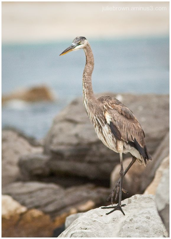 great blue heron foot up jetty at saint andrews SP