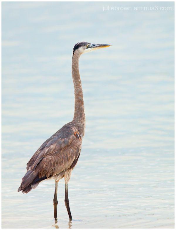 great blue heron juvenile in water