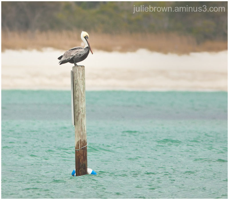 Brown Pelican sitting on a pole