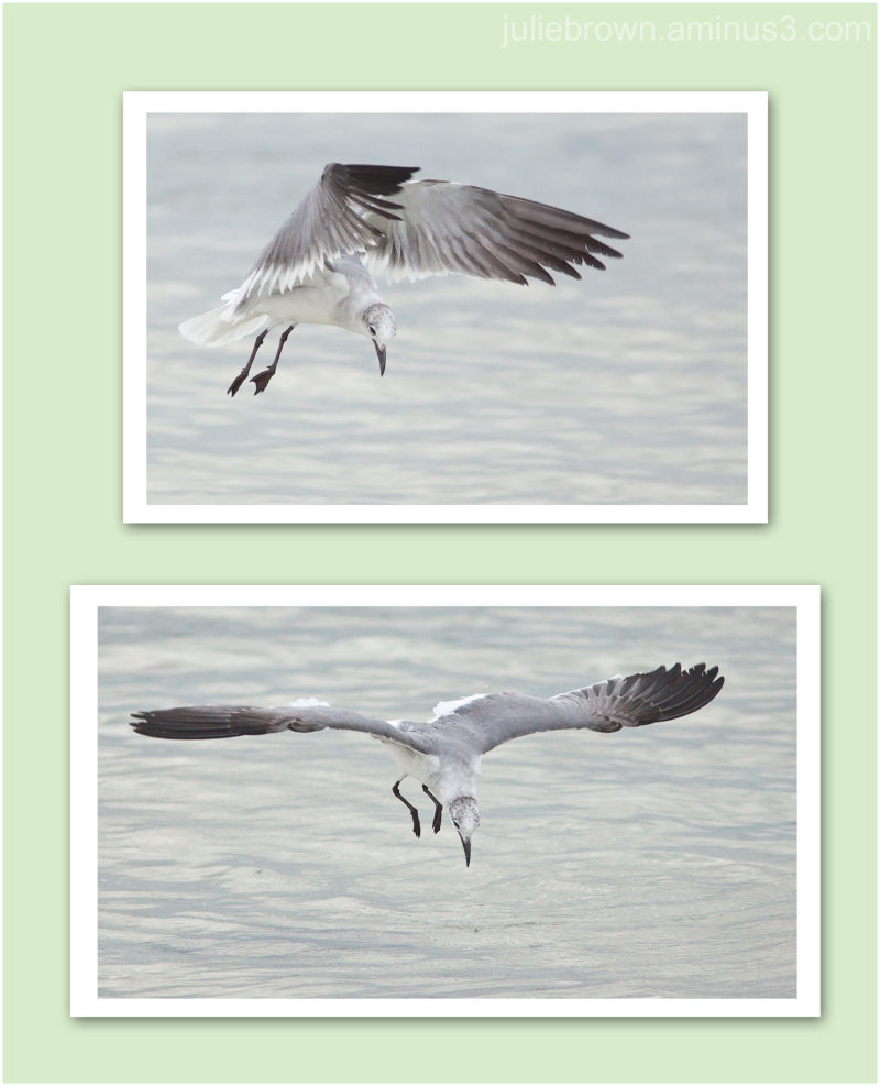 laughing gull diving collage at saint andrews SP