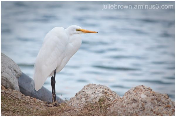 great egret at saint andrews state park florida