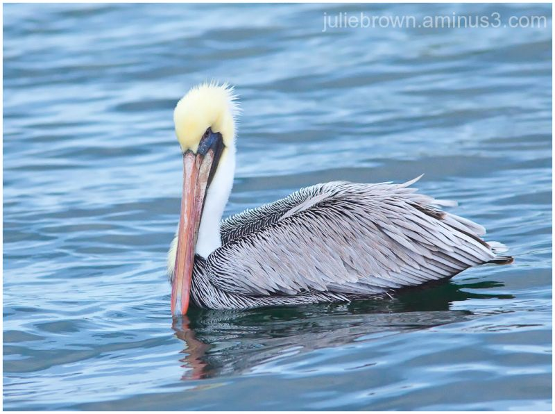 brown pelican in water at saint andrews state par