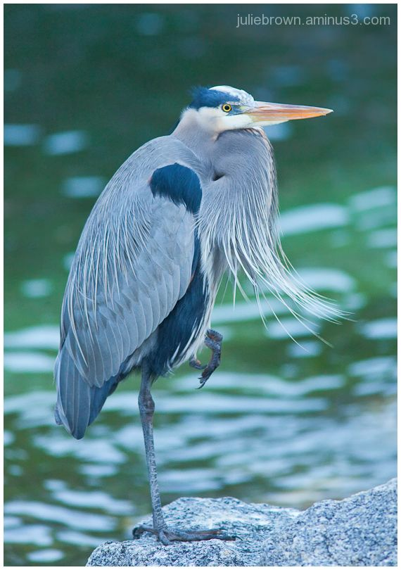 great blue heron adult foot lift florida