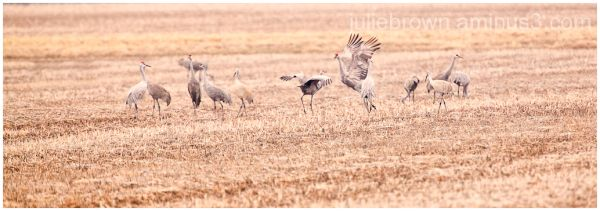 sandhill cranes in corn field at goose pond FWA