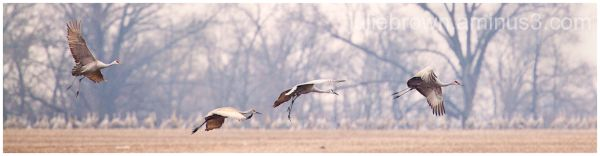 sandhill cranes over corn field at goose pond FWA
