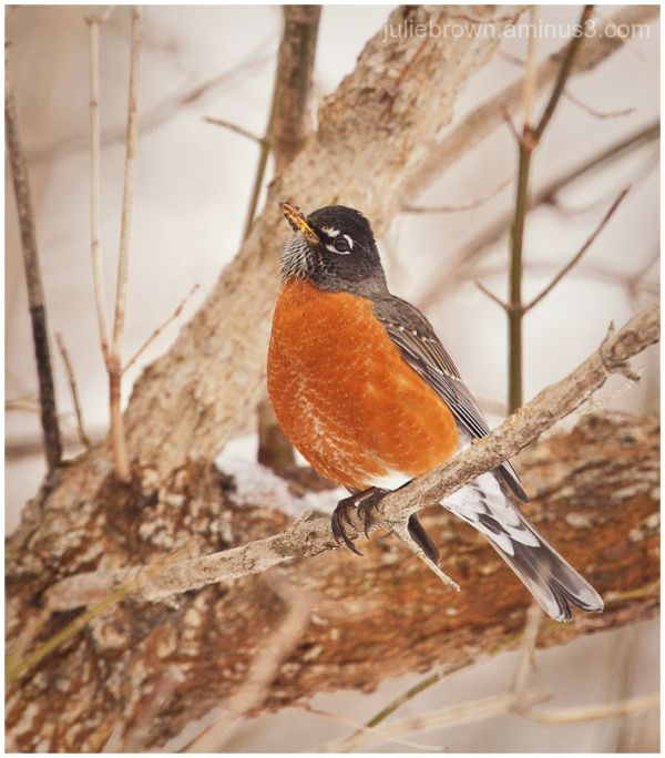 american robin perched in late winter