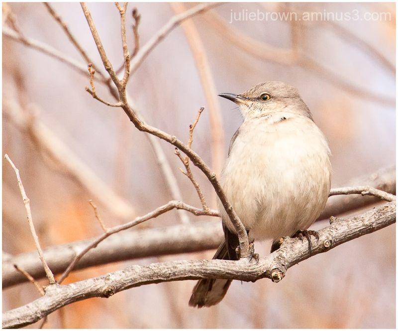 northern mockingbird late winter fort harrison SP