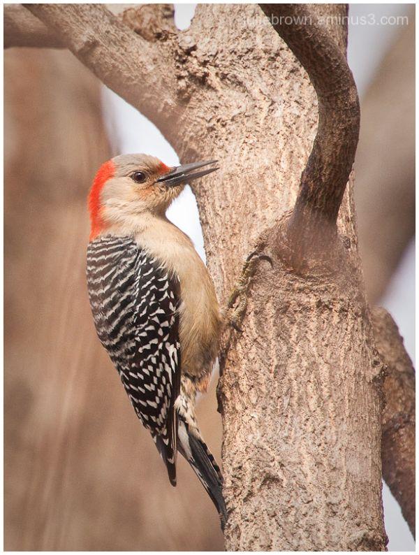 female red-bellied woodpecker on tree late winter