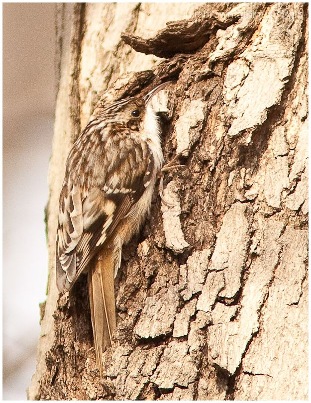 brown creeper on tree trunk at fort harrison SP