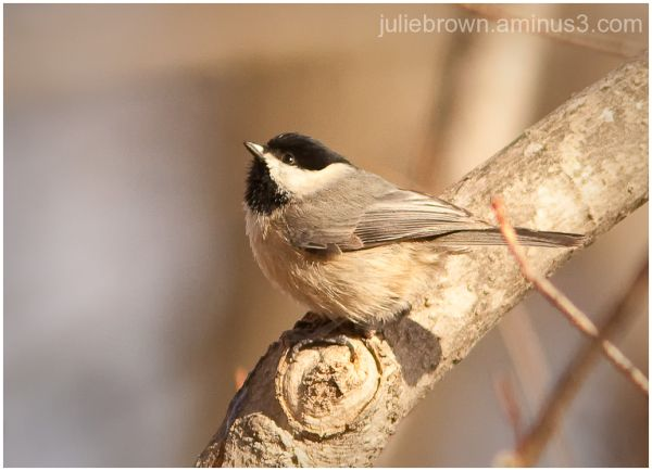 carolina chickadee at fort harrison state park IN