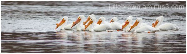 american white pelican pod eagle creek park
