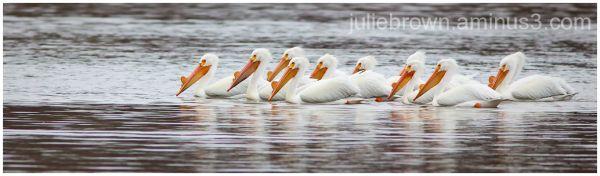 american white pelican pod eagle creek park