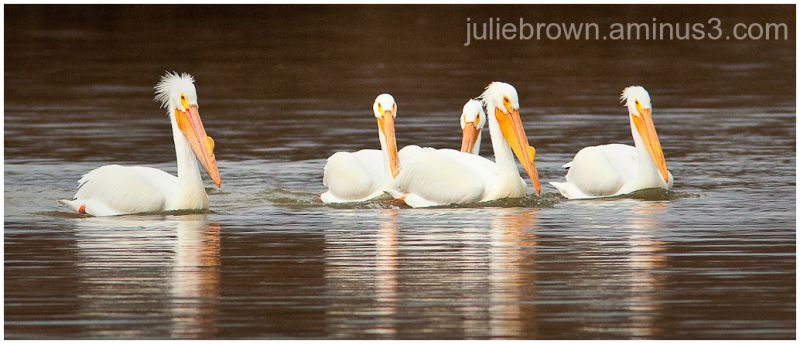 Five American white pelicans eagle creek park