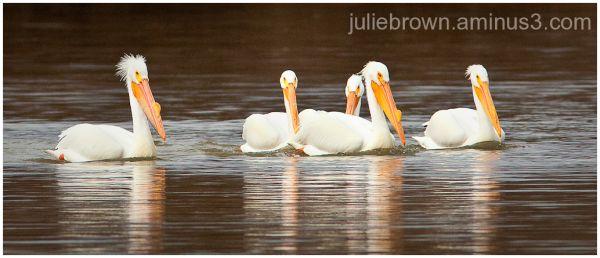 Five American white pelicans eagle creek park