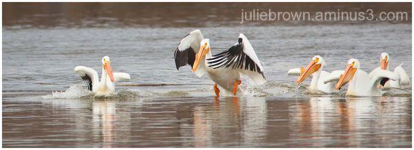 american white pelican in wings eagle creek park