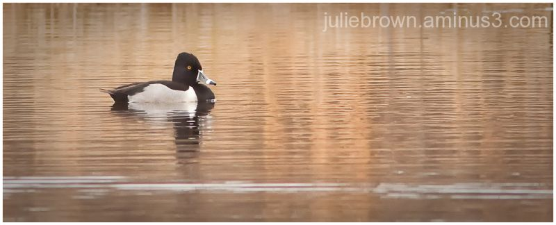 male ring-necked duck in breeding plumage