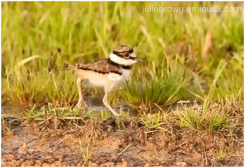 killdeer chick in the grass in Alabama