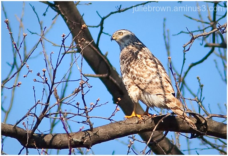 juvenile northern goshawk at eagle creek park