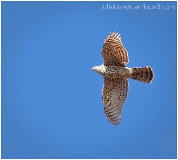 juvenile northern goshawk in flight