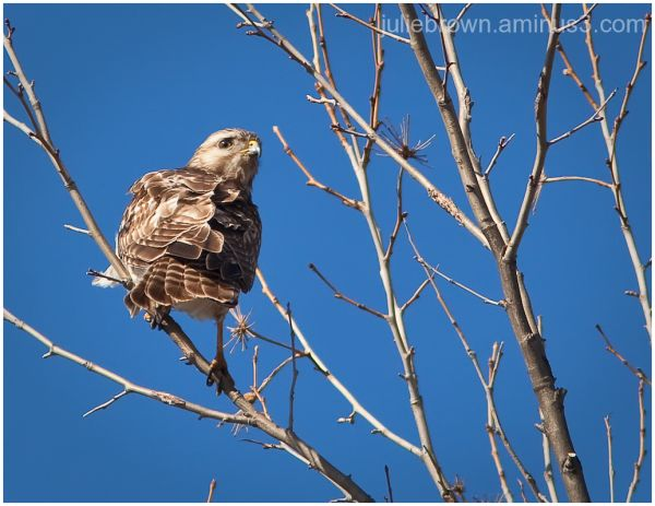 red-shouldered hawk in tree looking back