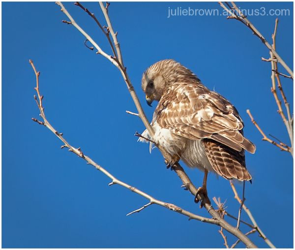 red-shouldered hawk in tree looking down