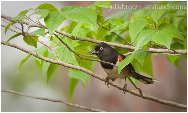 white-eyed eastern towhee panama city florida