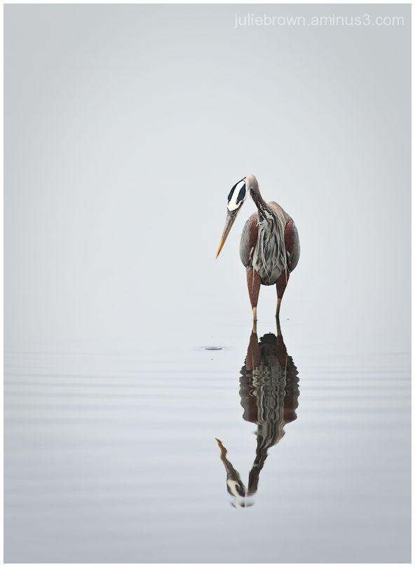 great blue heron fishing in grand lagoon