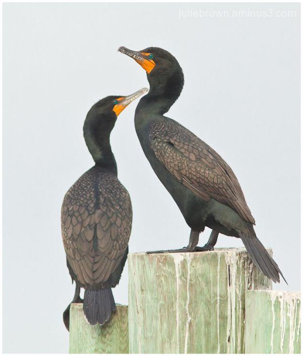 double crested cormorant adult non-breeding