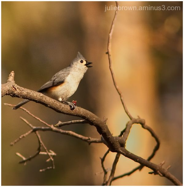 tufted titmouse in tree eagle creek park
