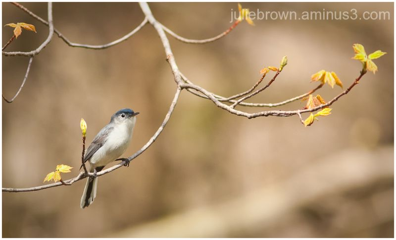 blue-gray gnatcatcher with spring buds
