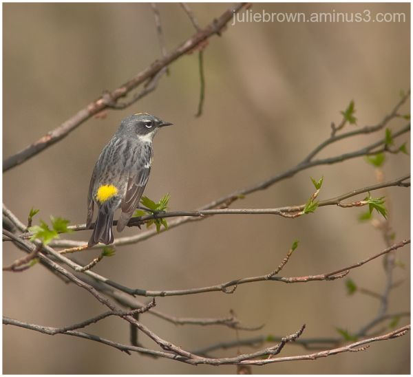 Yellow-rumped warbler male winter plumage