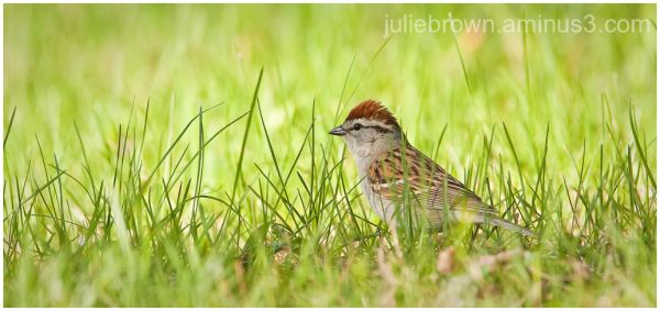chipping sparrow in the grass at eagle creek park