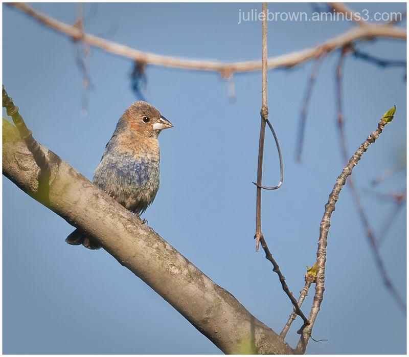 male juvenile blue grosbeak eagle creek park sprin