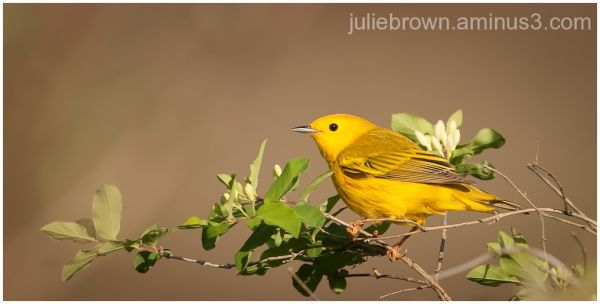 yellow warbler male at eagle creek park in spring