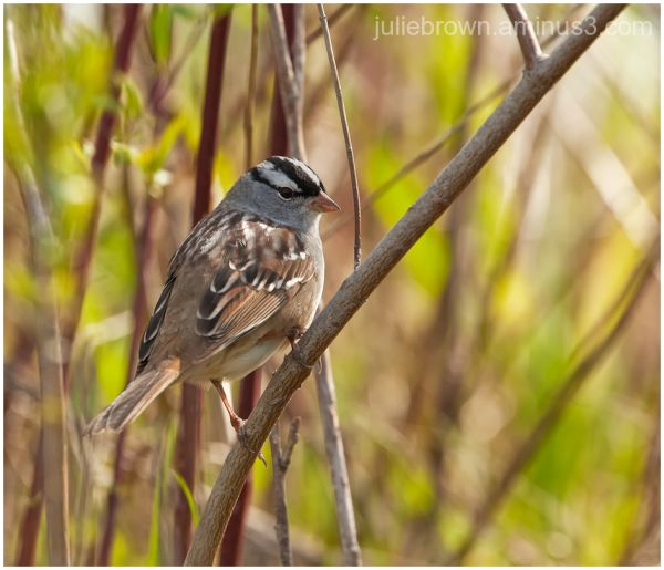 white-crowned sparrow in thicket eagle creek park