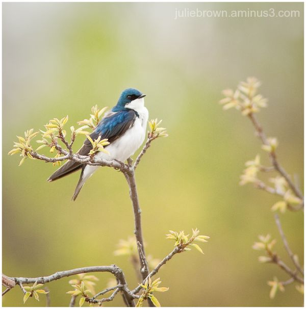 male tree swallow in spring foliage central park