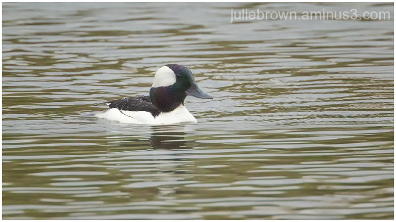 male bufflehead at central park on the monon trail