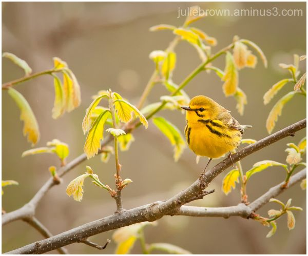 prairie warbler in spring foliage at ritchey woods