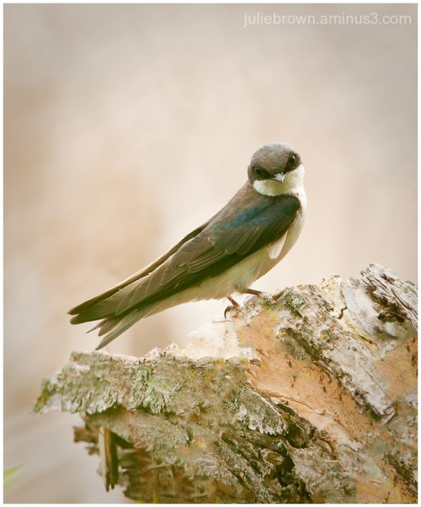 female tree swallow looking back from perch