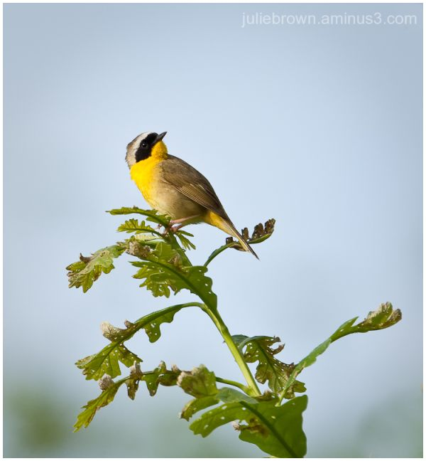 common yellowthroat looking up