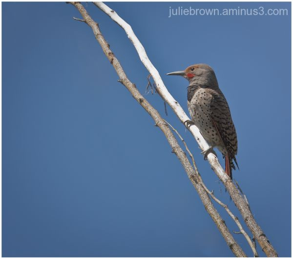 northern flicker red shafted two ponds NWR