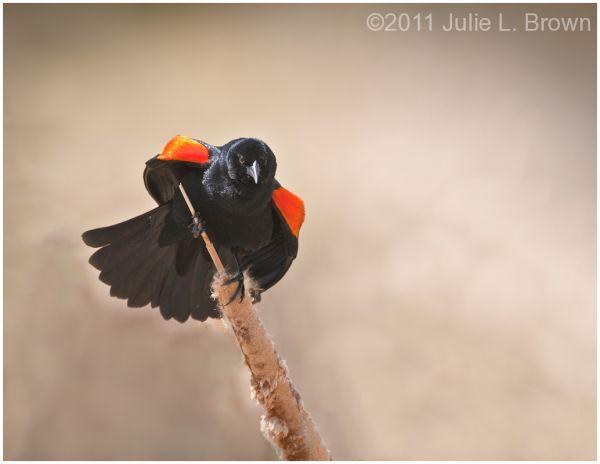 red-winged blackbird two ponds nwr arvada colorado