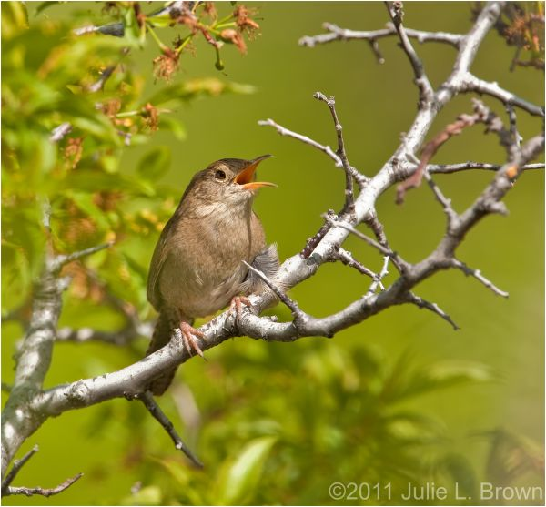 house wren singing south mesa trail boulder
